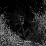 Le léopard noir photographié pour la première depuis 100 ans